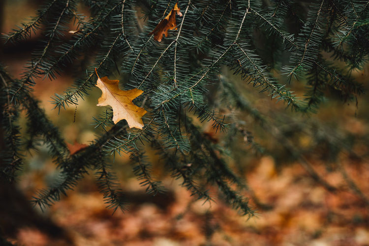 Oak leaf on branches during autumn