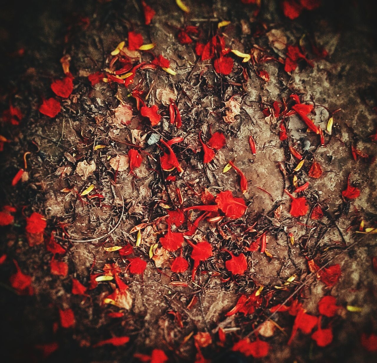 red, autumn, no people, nature, change, leaf, outdoors, close-up, day