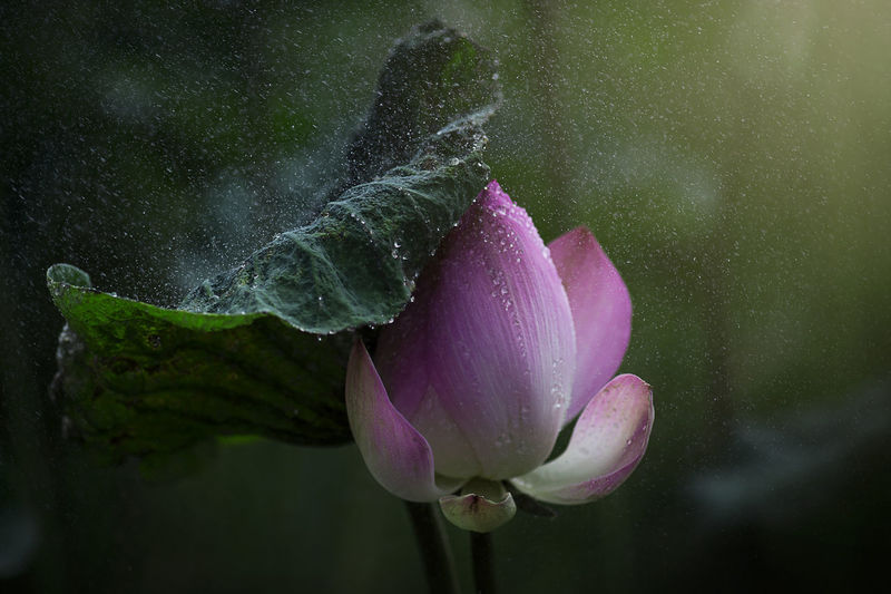 Close-Up Of Wet Pink Flower Blooming Outdoors
