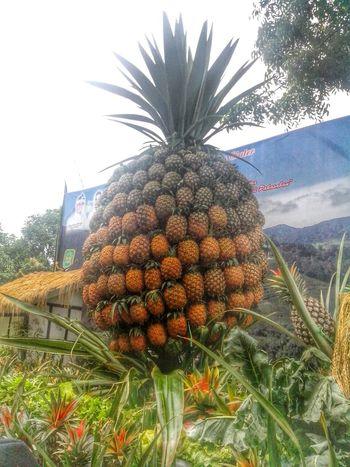 Pineapple City Of Pineapple Subang Kecamatan Ciater Ciater Nanas Fruits Modification Art