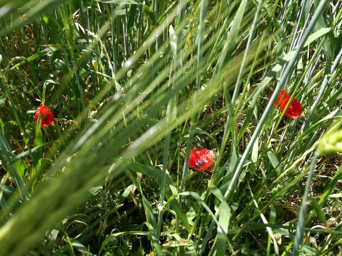 Red Growth Nature Grass Day Outdoors No People Fragility Beauty In Nature Freshness Plant Leaf Flower Poppy Close-up Fly Agaric Mushroom Freshness Flower Head Flower Collection Flowers,Plants & Garden Color Photography No Filter, No Edit, Just Photography Grano