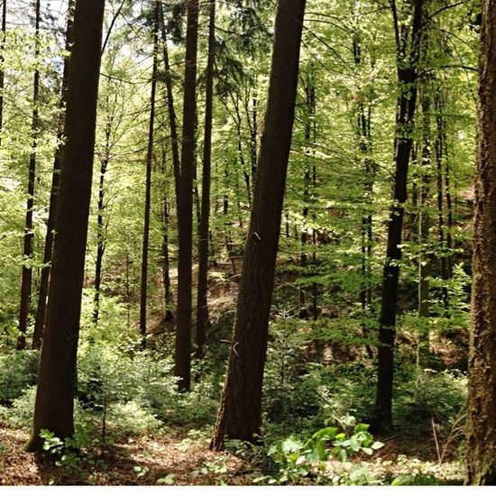 Tree Forest Nature WoodLand Tree Trunk Growth Tranquility Beauty In Nature Outdoors Landscape Scenics No People Day Woods Tree Area Lush - Description Into The Woods Into The Green