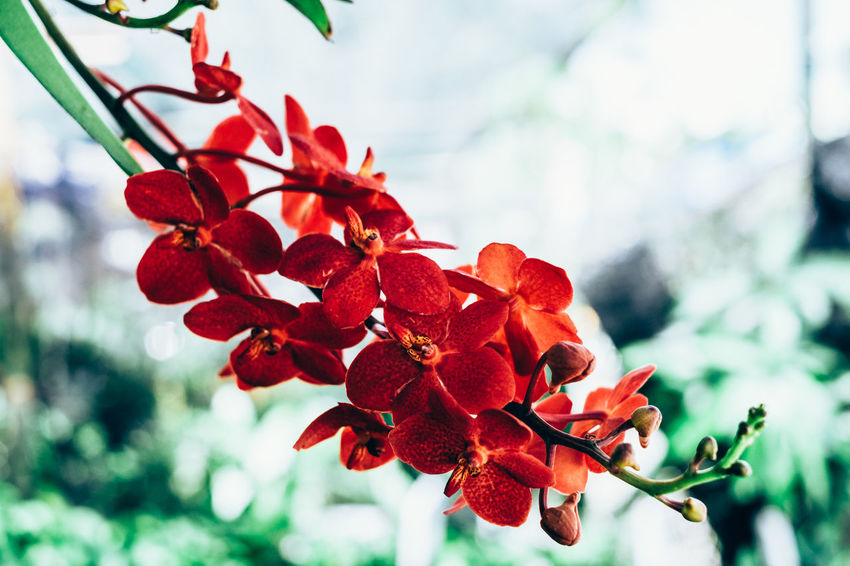 orchid Copy Space Exotic Hanging Isolated Orange Orchid Backgrounds Beauty In Nature Blooming Bokeh Close-up Day Flower Flower Head Fragility Freshness Growth Leaf Nature Outdoors Petal Plant Red Selective Focus Wild The Week On EyeEm