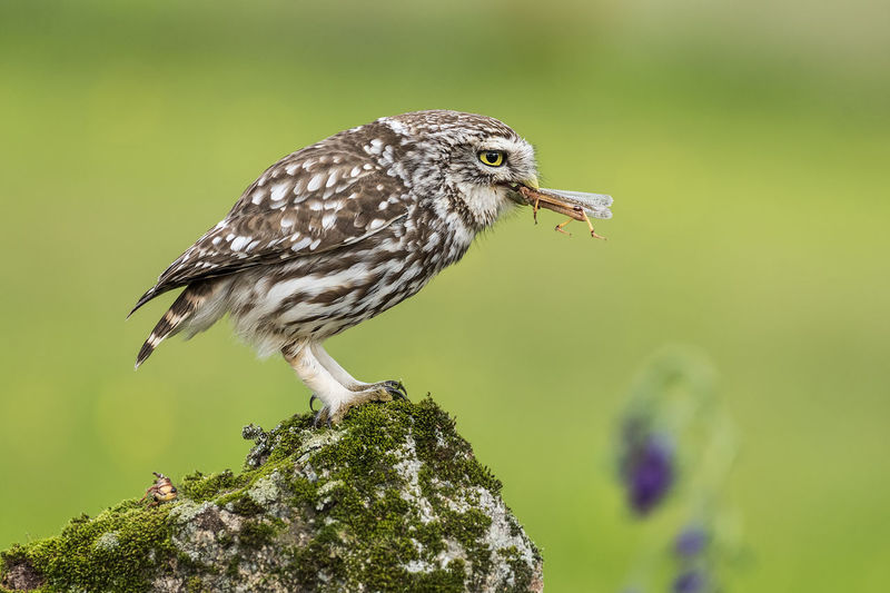 Athene Noctua Animal Animal Themes Animal Wildlife Animals In The Wild Beauty In Nature Bird Close-up Day Focus On Foreground Green Color Little Owl Nature No People One Animal Outdoors Owl Perching Plant Selective Focus Side View Vertebrate Young Bird