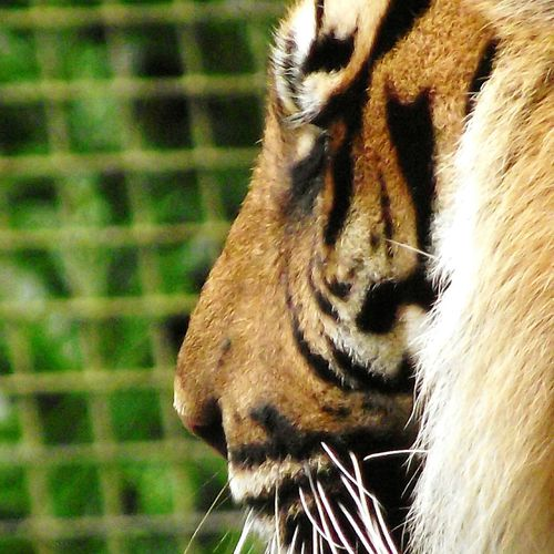 One Animal Close-up Animal Head  Walking Around Mountain Zoo Conwy Tigers❤ Tiger Outdoors