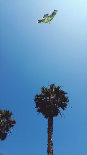 Low Angle View Flying Palm Tree Tree Clear Sky Blue Mid-air Day One Animal Animals In The Wild Outdoors Animal Themes No People Bird Nature Spread Wings Beauty In Nature Sky EyeEmNewHere