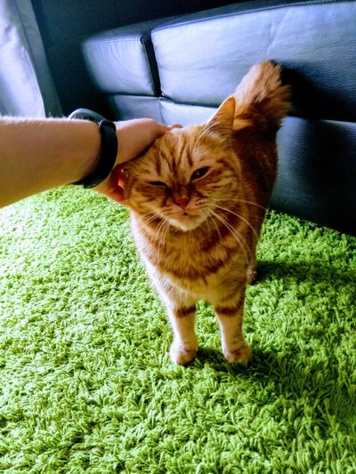 Pets Feline Domestic Cat Sitting Ginger Cat Home Carpet Under Pet Bed Stray Animal Kitten Below Whisker Adult Animal Tabby Cat Carnivora Domestic Animals Rainfall Cat Tabby Yellow Eyes At Home