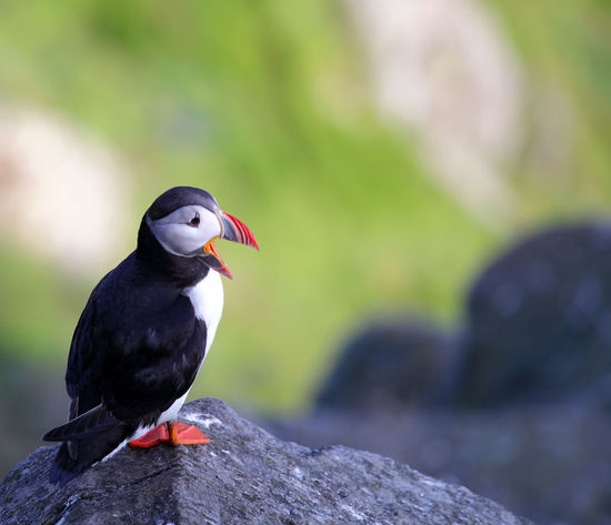 An atlantic puffin (Fratercula arctica) perched on a granite rock at Runde island (Norway)) Animal Themes Animal Wildlife Animals In The Wild Atlantic Puffin Bird Close-up Focus On Foreground Nature No People Norway One Animal Outdoors Perching Puffin Runde Runde Island Wildlife & Nature Wildlife Photography