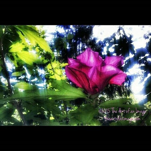 """""""By Any Other Name"""" August 2015 ☮ www.theartofanimage.com NY Eastend Newyork Southshore newamsterdam longisland suffolkcounty roseofsharon sunny pink bohemian floral flowers summer august picturesque instagood bestoftheday picoftheday poetry meditation peaceful artist art artsy coralpink dreamy hazy theartofanimage"""