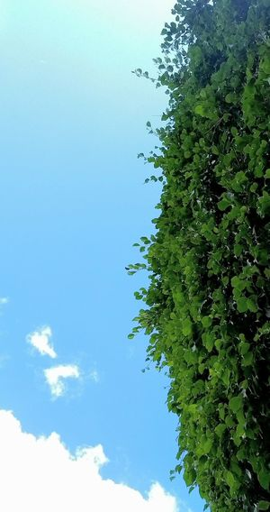 Inverno Tree Blue Sky Cloud - Sky Green Color Nature No People Outdoors Backgrounds Smartphonephotography