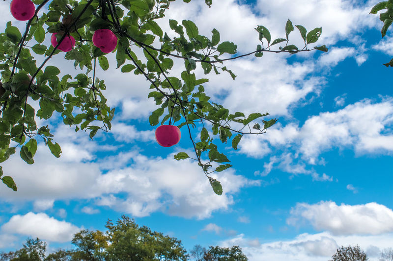 Apple Tree in Vermont Apple Apple Tree Beauty In Nature Cloud - Sky Day No People Outdoors Red Apple Red Color Sky Tree
