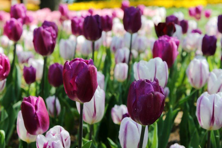 Close-up of purple tulip flowers in field