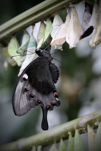 Close-up of butterfly coming out from cocoon
