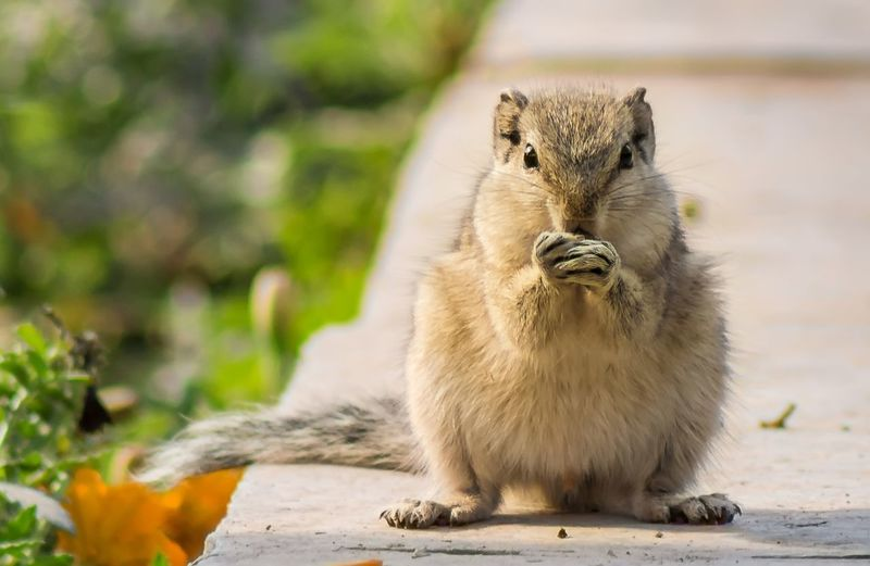 Squirrel Squirrel Closeup Garden Squirrel Eating Squirrel Photography Portrait Eating Healthy Hunger Animal Morning Breakfast Eatingout Busy Day Eattolive Indiansquirrel Moment Summer Vegetarian Squirrelwatching Hardworking