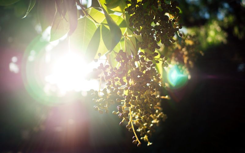 Catching the sunset through the leaves Back Lit Beauty In Nature Bright Close-up Day Green Leaf Lens Flare Nature Outdoors Sun Sunbeam Sunlight Tranquility Tree