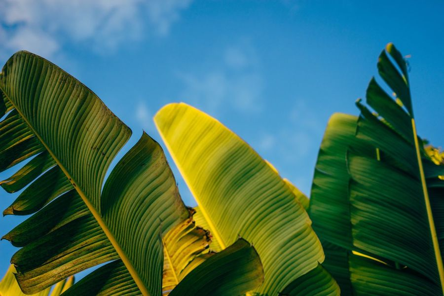 Nature Growth Leaf No People Green Color Beauty In Nature Low Angle View Outdoors Sky Tree Day Palm Tree Close-up Banana Leaf tropical