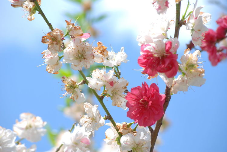 There is this unusual beauty i see.. even in already WITHERED blossoms.❤ | Fruit blossoms against the glorious blue sky.🌸 ―――――――――――――――――――Blossoms  Fruit Blossom Withered Beauty Withering Flowers 無加工 NoEditNoFilter Fragility Springtime Low Angle View Blue Sky Under The Blue Sky Mynikonlife Nikon Photography Full Frame Nikon D60 From My Point Of View EyeEmNewHere EyeEm Gallery EyeEm Flower EyeEm Best Shots - Flowers EyeEm Best Shots - Nature EyeEm Best Shots