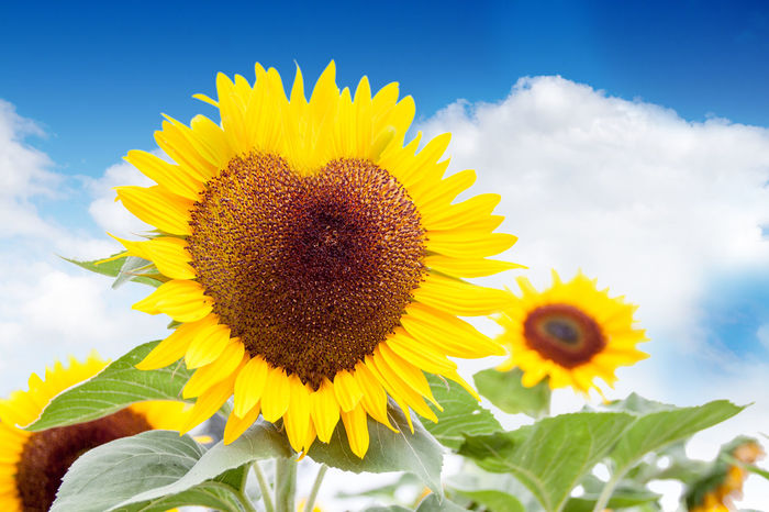 Beauty In Nature Close-up Flower Freshness Heart Herz Liebe Love Nature Plant Sonnenblume Sonnenblumen Sunflower Valentine's Day  Valentinstag Yellow
