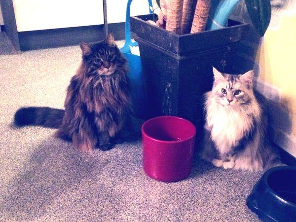 Meine beiden Cuties ❤️ Armani und Akila Mainecoon Furball Kittylove