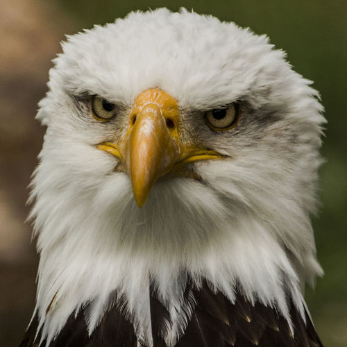 Aguila Beauty In Nature Bird Birds Birdsmouth Close-up Eagle Eagle Head Eagle Portrait Focus On Foreground Nature No People Pico Portrait