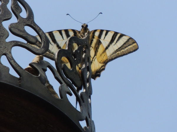 Animal Themes Animal Wildlife Animals In The Wild Architecture Building Exterior Clear Sky Close-up Day Low Angle View Nature No People One Animal Outdoors Sky Iphiclides Podalirius Scarce Swallowtail Butterfly Scarce Swallowtail