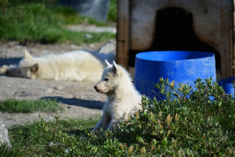 Ilulissat, Greenland - July, sled dog / husky puppy in summer | sledge dogs / huskies Dog Love Husky Sled Dog Greenland Animal Working Animal Dog Summer Outdoors Scenery Tradition Day Sun Fleecy Fluffy Dogs Dogslife Puppy Puppies Grass Domestic Canine Pets Nature No People