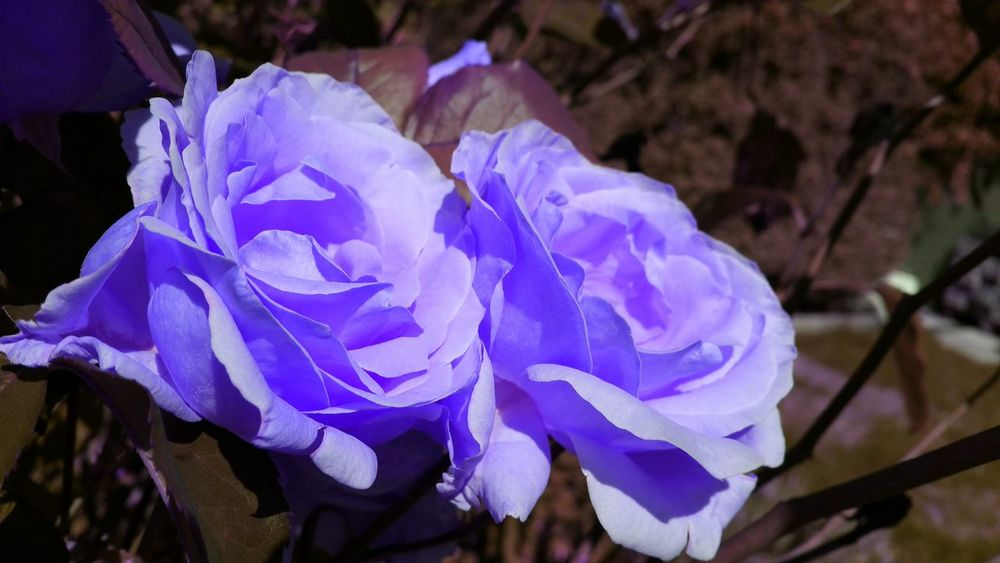 EyeEm Selects Digital Photography Rose🌹 Rose Flowers Blue Beautiful Flowers Awesome Colors Nature Is Amazing! Flower Nature Purple Beauty In Nature Petal Blue No People Flower Head Outdoors Freshness Close-up Fragility Day