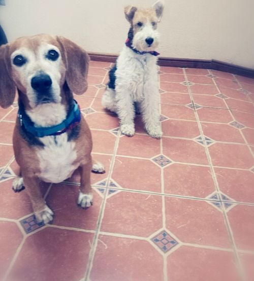 #foxterrier #beagle Dog Pets Looking At Camera Animal