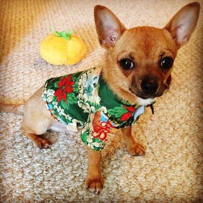 My Floridian pup Tommybahama Dailyzigga