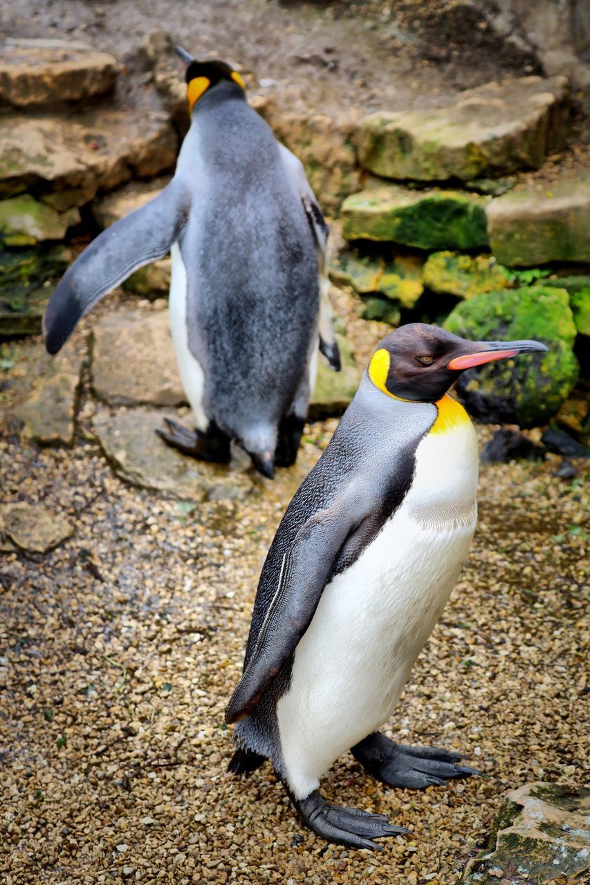 bird, penguin, animals in the wild, animal themes, animal wildlife, two animals, day, young bird, no people, nature, outdoors, focus on foreground, beak, young animal, togetherness, beauty in nature