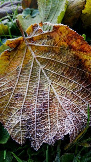 Knuspriges Laub Mit Zuckerstreu Morgenfrost Frozen Leaf Kaltes Laub Leaf Herbströte Goldbraunes Laub Bodenfrost Bodenfarben