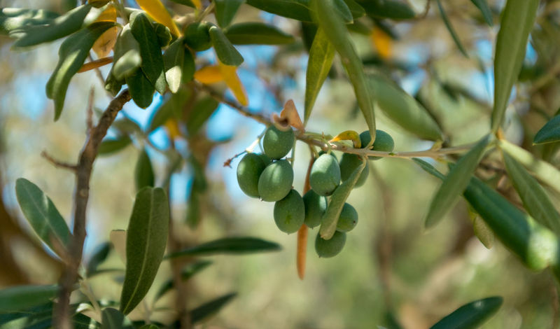 Olive branch full of olive fruits France Freshness Healty Food Olive Olive Tree Plant Provence Tree Beauty In Nature Branch Close-up Farming Food Freshness Fruit Healthy Eating Leaf Olive Oil Olive Oil Tree Olive Trees Olives Ripe