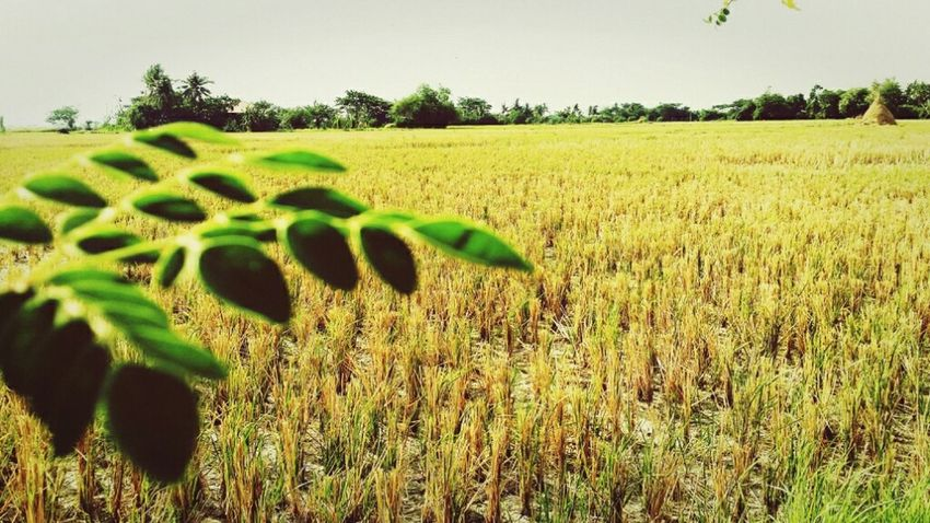 Province Ricefields Summer Hotweather Malunggay Palay