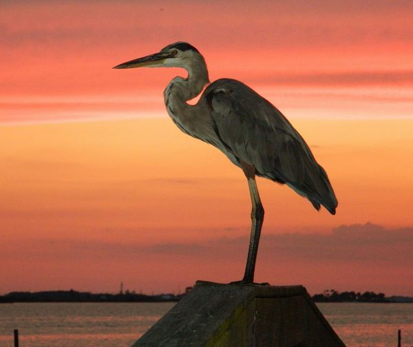 Great Blue Heron standing on a post with a magnificent sunset! Animal Close Plumage Ducks Sky Great Blue Heron Water Color Black And White Feathers Wings Daylight Nature Ornithology Shadows Reflection Water Bird Outdoors Sunset Sun Waterfowl foreground beak looking apprehensive colorful multicolored standing legs horizon descending sun