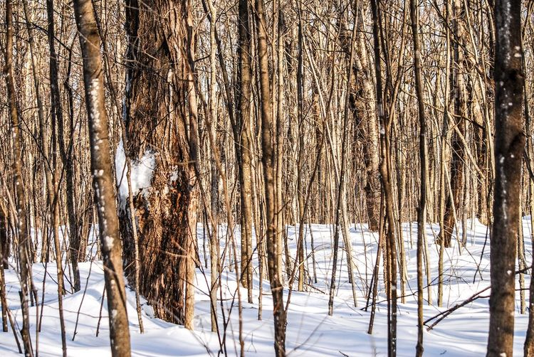 Walking in the woods Winter Snow Cold Temperature Tree Beauty In Nature Land No People Plant Nature Bare Tree Environment Forest Tranquility Scenics - Nature Tranquil Scene Day Non-urban Scene Landscape Trunk Outdoors Blizzard Snowing