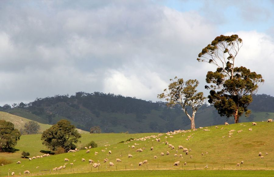 Sheep grazing across open country in South Australia Australian Landscape Hills Agriculture Animal Themes Beauty In Nature Cloud - Sky Day Domestic Animals Field Grass Grazing Landscape Livestock Mammal Nature No People Outdoors Pasture Rural Landscape Scenics Sheep Farm Sky Tranquil Scene Tree