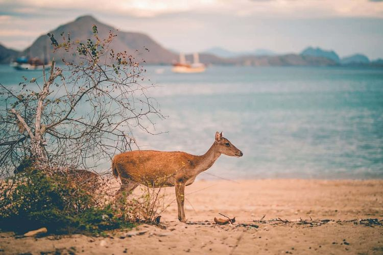 Deer at beach