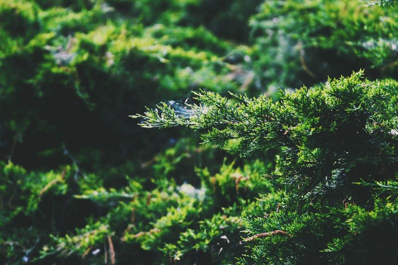 Green pines Green Color Nature Focus On Foreground Plant Day No People Close-up Outdoors Growth Beauty In Nature Tree Green Green Green!  Greenery Background Pine Coniferous Tree Pine Tree Pine Woodland Woods Secluded