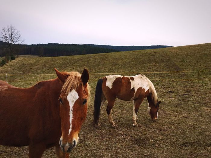 Two horses in the field Domestic Animals Animal Themes Mammal Livestock Clear Sky Landscape Herbivorous Grass Field No People Nature Horse Standing Sky Day Tranquil Scene Outdoors Horses Animals Fields Outside Outside Photography View Views Landscapes