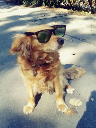 Dog Pets One Animal Outdoors Sunglasses Sunglasses On Dogs cool dog Summer Dogs Of Summer Glasses On Animals