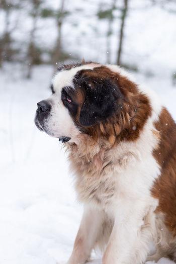 Dog looking away on snow field