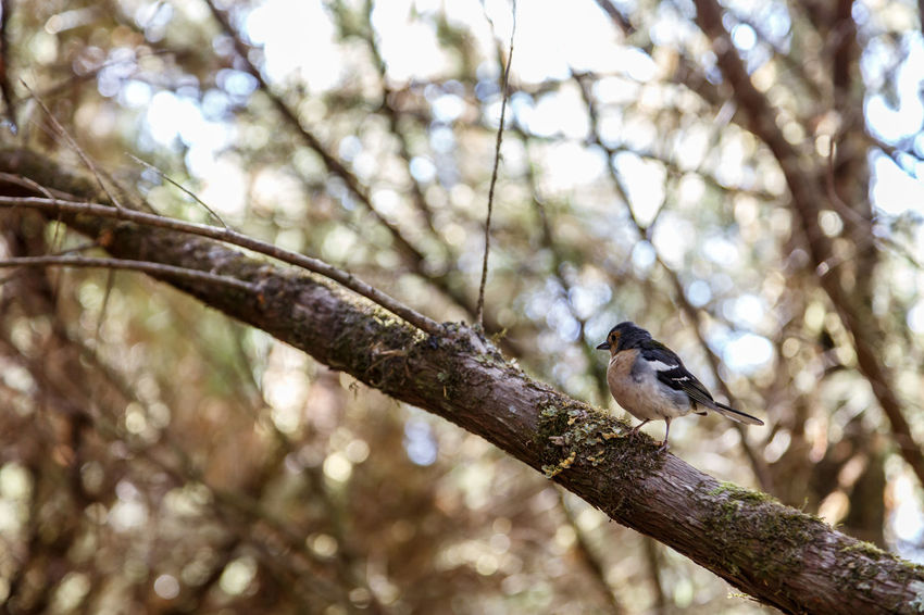 Animal Themes Animal Wildlife Animals In The Wild Beauty In Nature Bird Branch Chaffinch Close-up Day Focus On Foreground Low Angle View Nature No People One Animal Outdoors Perching Tree