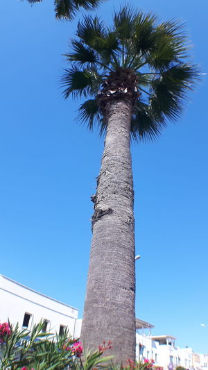 Blue Clear Sky Day Growth Low Angle View Nature No People Outdoors Palm Tree Sky Tree Tree Trunk