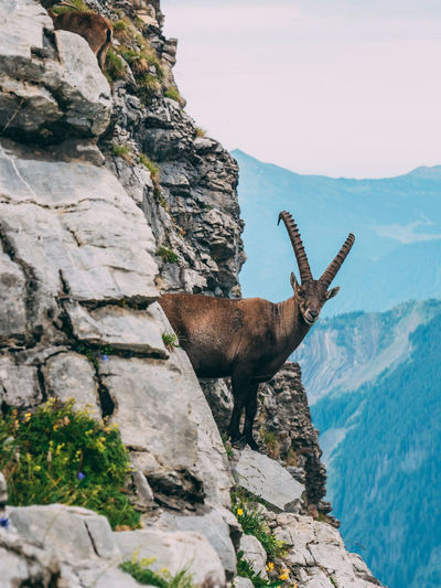 Mountain goat standing on cliff