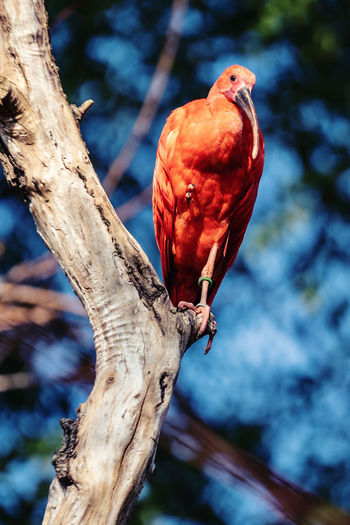 Roter Ibis, Zoo