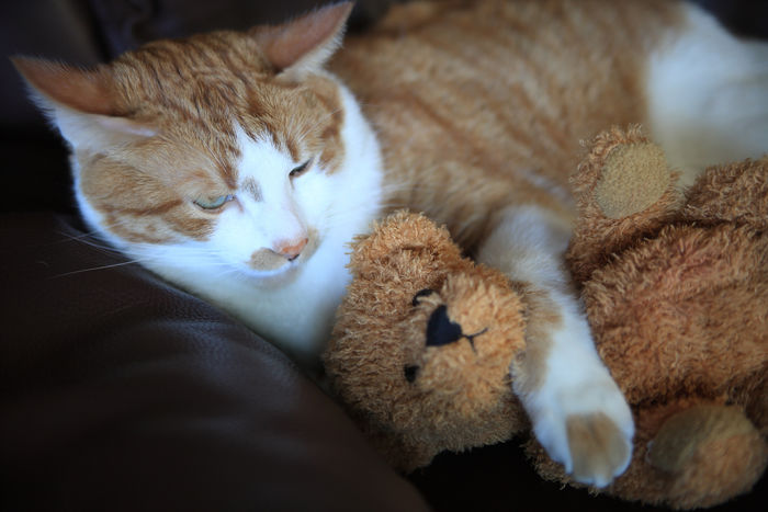 Cat with arm around teddy bear Adorable Calm Close-up Comfortable Cozy Cuddling Cute Feline Fun Furry Ginger Tabby Indoors  Indoors  Mammal Natural Light No People Orange And White Tabby Pets Sleepy Sofa Soft Stuffed Animal Teddy Bear Textures