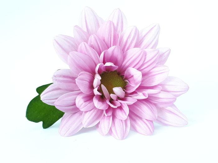 Chrysantheme in