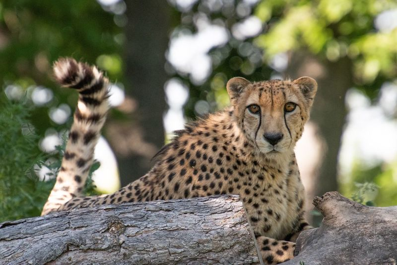 EyeEm Selects Animal Animal Themes Animal Wildlife Mammal Big Cat Cheetah Nature Looking At Camera Carnivora Feline One Animal