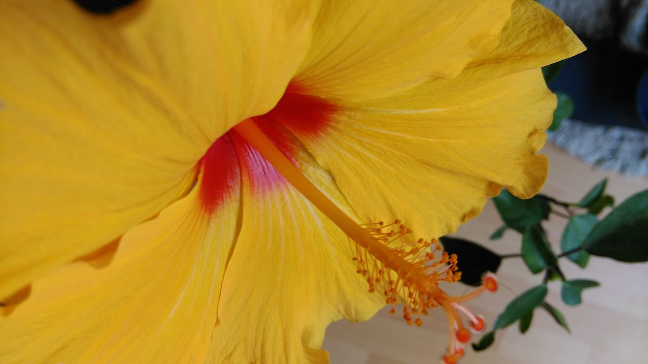 flower, petal, fragility, flower head, yellow, freshness, beauty in nature, nature, growth, stamen, macro, selective focus, pollen, soft focus, vibrant color, close-up, day lily, springtime, hibiscus, no people, backgrounds, elegance, blooming, outdoors, day