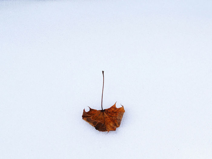 Maple Leaf On The Ground In The Snow ❄ On Snow Purity